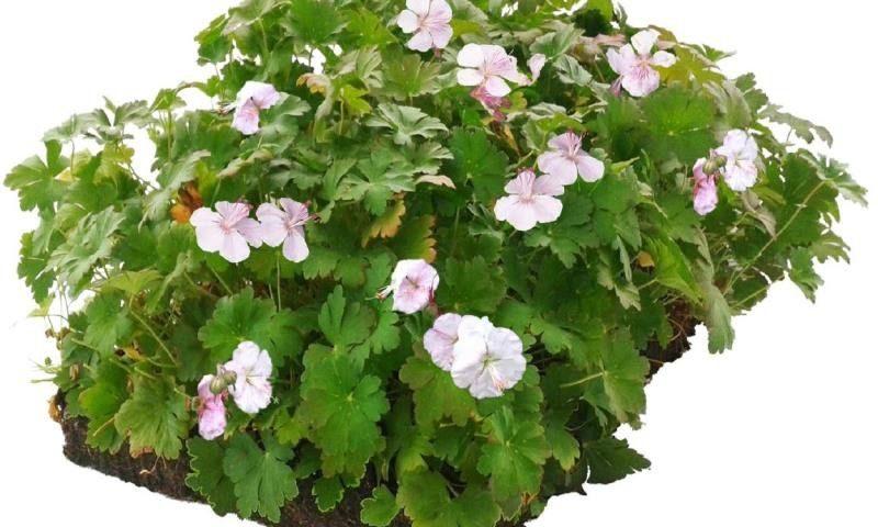 bodembedekker tuin